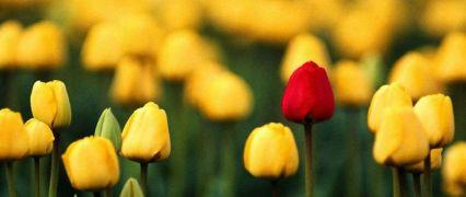Tulipas amarelas & 1 vermelha